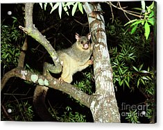 Brushtail Possum Acrylic Print