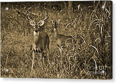 Buck And Doe In Sepia Acrylic Print
