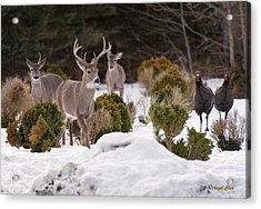 Acrylic Print featuring the photograph Buck And Turkey by Angel Cher