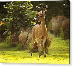 Acrylic Print featuring the photograph Buck by Angel Cher