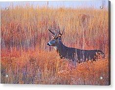 Buck Deer In Morning Sunlight Acrylic Print