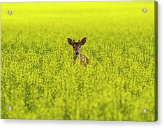 Buck In Canola Acrylic Print by Mark Kiver