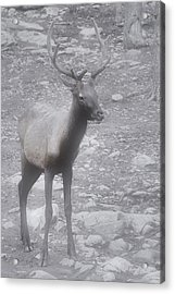 Buck In Fog On Hurricane Ridge - Olympic National Forest - Olympic National Park Wa Acrylic Print
