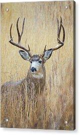 Buck In Snow Acrylic Print
