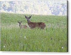 Buck In Velvet II Acrylic Print by Tina B Hamilton