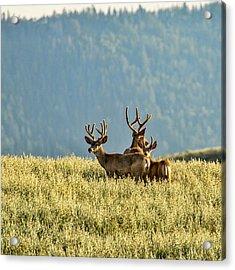 Buck Mule Deer In Velvet Acrylic Print