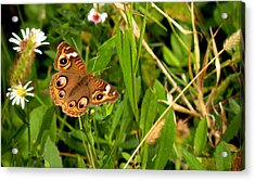 Acrylic Print featuring the photograph Buckeye Butterfly In Nature by Rosalie Scanlon