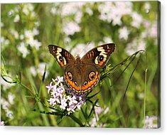 Buckeye Butterfly Posing Acrylic Print