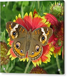 Buckeye On Blanketflower Acrylic Print by Peg Urban