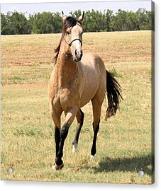 Buckskin Stallion From Front Acrylic Print by Cheryl Poland