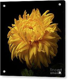 Bud Opening-chrysanthemum 'allison Peace Acrylic Print
