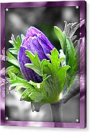 Budding Flower Acrylic Print by Amanda Eberly-Kudamik