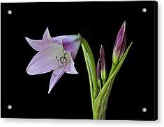 Budding Lily Acrylic Print
