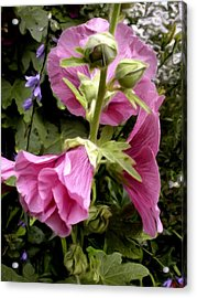 Budding Magenta Hollyhocks Acrylic Print