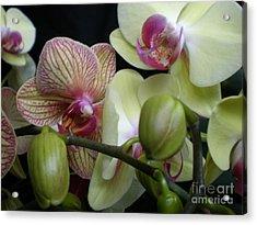 Budding Orchids  Acrylic Print