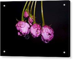 Buds Acrylic Print by Svetlana Sewell