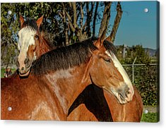 Acrylic Print featuring the photograph Budweiser Clydesdales  by Bill Gallagher