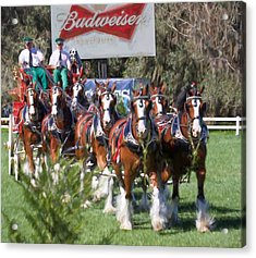 Budweiser Clydesdales Perfection Acrylic Print