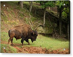 Buffalo Walking Along Streambed Acrylic Print by Georgia Evans