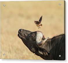 Buffalo And Oxpecker Bird Acrylic Print