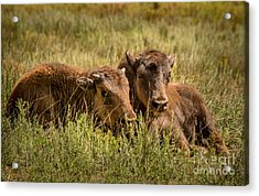 Acrylic Print featuring the photograph Buffalo Babes by The Forests Edge Photography - Diane Sandoval