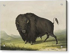 Buffalo Bull Grazing 1845 Acrylic Print