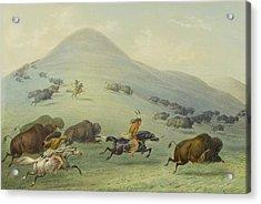 Buffalo Chase Acrylic Print