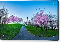 Buffalo Cherry Blossoms 1 Acrylic Print
