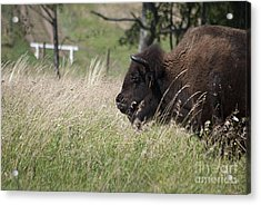Buffalo Gal 20120724_378a Acrylic Print