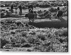 Buffalo Grazing In The Sunset Acrylic Print by Adam Jewell