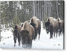 Buffalo Herd Emerges From The Snowy Yellowstone Mist Acrylic Print