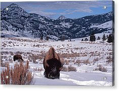 Acrylic Print featuring the photograph Buffalo In The Rockies by Edward R Wisell