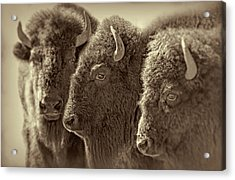 Acrylic Print featuring the photograph Trio American Bison Sepia Brown by Jennie Marie Schell
