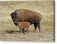 Buffalo With Newborn Calf Acrylic Print