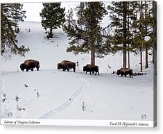 Buffaloes In Yellowstone National Park Acrylic Print by Carol M Highsmith