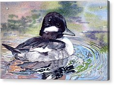 Bufflehead Duck Acrylic Print by Lorraine Watry