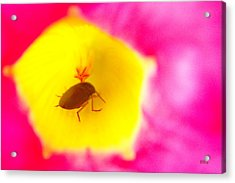 Bug In Pink And Yellow Flower  Acrylic Print by Ben and Raisa Gertsberg