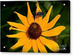 Bug On A Flower Acrylic Print by Sherri Williams