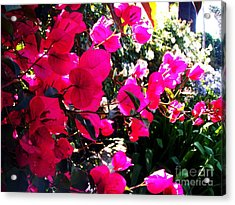 Acrylic Print featuring the photograph Bugambilia by Vanessa Palomino
