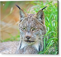 Built In Hearing Aid.. Acrylic Print by Nina Stavlund