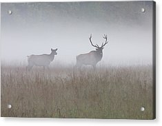 Acrylic Print featuring the photograph Bull And Cow Elk In Fog - September 30 2016 by D K Wall