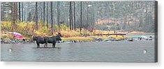 Bull And Cow Moose In East Rosebud Lake Montana Acrylic Print