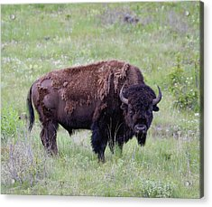 Bull Bison Starring Into The Camera Acrylic Print