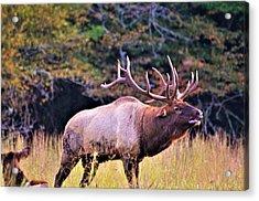 Bull Calling His Herd Acrylic Print