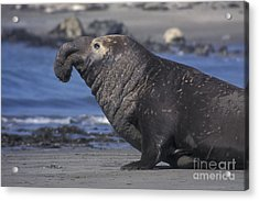 Bull Elephant Seal Acrylic Print by Stan and Anne Foster