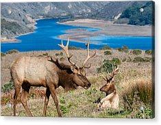 Bull Elk Above Tomales Bay Acrylic Print