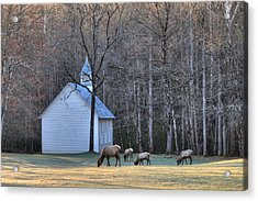 Bull Elk Attending Palmer Chapel  In The Great Smoky Mountains National Park Acrylic Print
