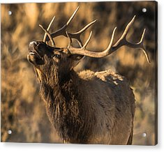 Bull Elk Bugle In Fall Acrylic Print by Yeates Photography
