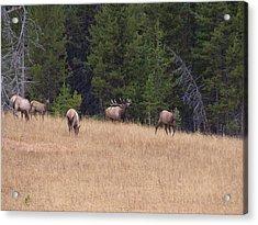 Bull Elk Bugling At Yellowstone Acrylic Print