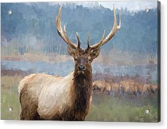 Bull Elk By The River Acrylic Print